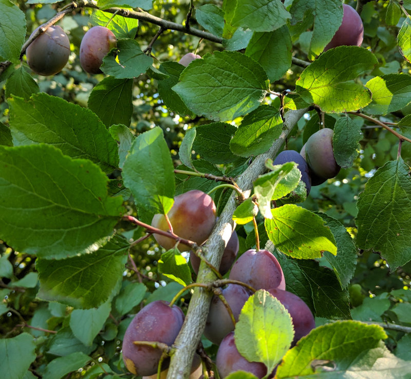 Wild growing plums in a hedgerow near me