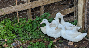 My ducks on my allotment