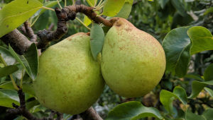 My pear crop is very good most years